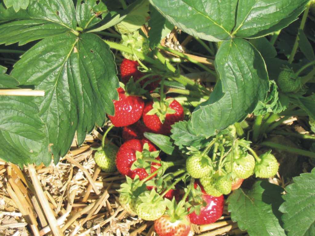 Rote >> Früchte
